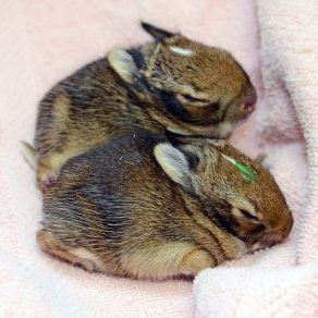 Baby rabbits under care