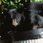 Bear rummaging through trashcan