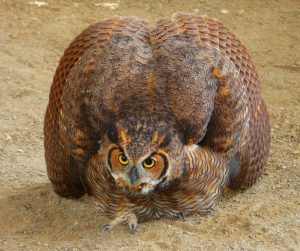Great Horned Owl Hit By Mbta Train Tufts Wildlife Clinic