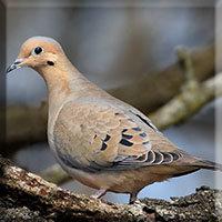 Birds - Mourning Dove