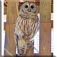Birds - Prey - Barred Owl