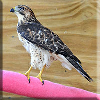 Birds - Prey - Broad Winged Hawk