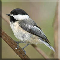 Birds - Black Capped Chickadee