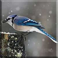 Birds - Bluejay