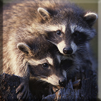 Mammals - Raccoon