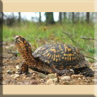 Eastern Box Turtle, Special Concern. Photo by Liz Willey.
