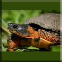 Wood Turtle, Special Concern. Photo by Mike Jones.