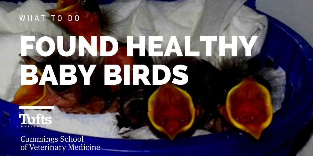 What to do if you found healthy baby birds