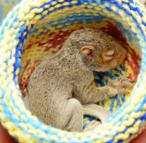 Squirrel in knitted hat nest at wildlife clinic